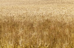 Mature yellowed cereals on agricultural land, farming for yield and profit, money in agriculture