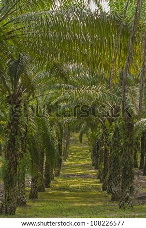 Matured Oil Palm Trees. Unsharpened file