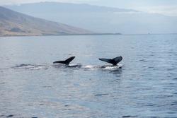 Maui Lahaina Humpback Whales - Double Flunking