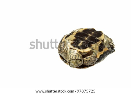Mauremys leprosa on white background