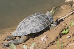 Mauremys leprosa Spanish pond adult turtle basking in the sun on the edge of a clayish pond, the carapax is dry and dusty because of the sunshine, but it is laying next to the water so it can jump