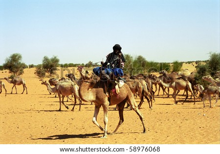MAURITANIA - JANUARY 6: Tuareg camel rider in the desert takes care of his camel herd on January 6, 2006, Mauritania. The Tuareg are kind and helpful desert people.