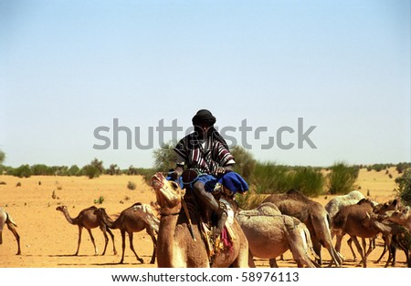 MAURITANIA - JANUARY 6: Tuareg camel rider in the desert takes care of his camel herd on January 6, 2006, Mauritania. The Tuareg are a great help in the desert.