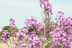 Mauve blooming phlox flowers in summer garden