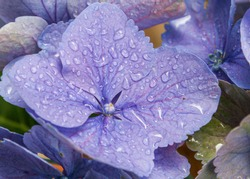 Mauve flowers petals with water droplets