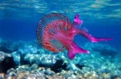 Mauve stinger purple jellyfish - Pelagia noctiluca
