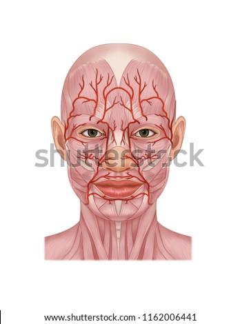 maxillary artery and  facial artery Сток-фото ©