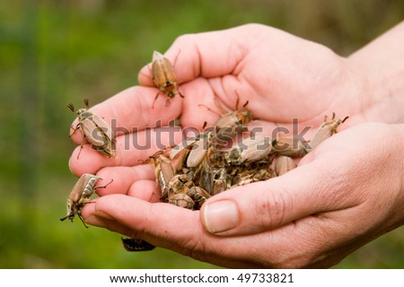 May beetles in the hands of a green background