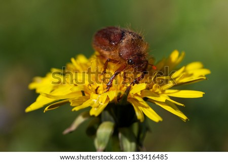 May bug beetle (Cockchafer, Melolontha)