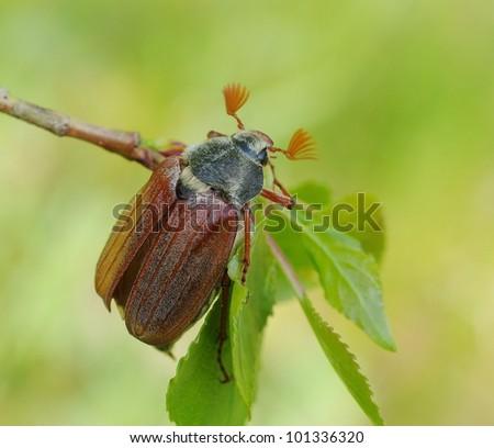 May-bug beetle(Cockchafer, Melolontha Vulgaris) - stock photo
