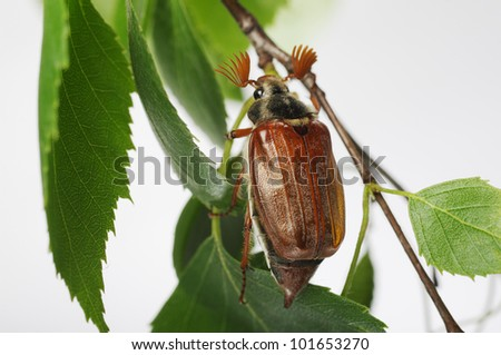 May-bug beetle (Cockchafer, Melolontha Vulgaris)