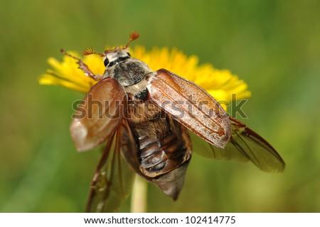 May-bug beetle (Cockchafer, Melolontha Vulgaris)