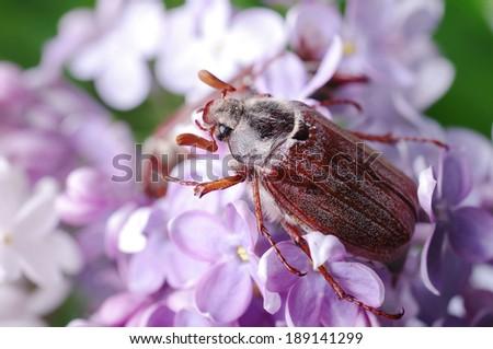 May-bug beetle on the lilac