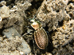May bug finding its way out of the ground