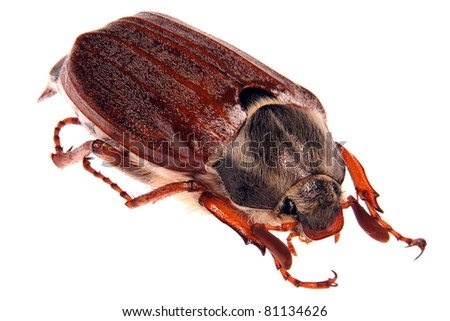 may bug macro isolated on white - stock photo