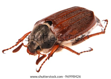 may bug macro isolated on white - stock photo