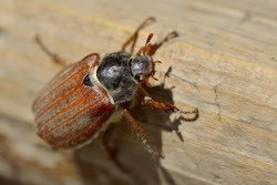 May bug or cockchafer (Melolontha melolontha)