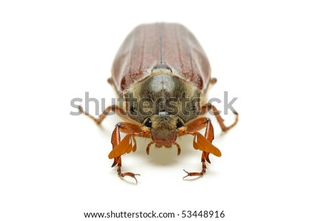 May-bug (tree beetle, Melontha Vulgaris)  isolated on the white background