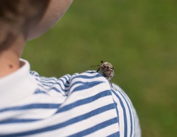 May bug with wide-open antennae creeps on the child's shoulder. antennae of the insect are opened like a fan. the beetle is looking at the camera. close-up. image with selective focus. a boy in a vest