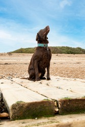 Maya the liver flat coat retriever relaxing on goring beach. A flat coat retriever is a type of working dog.