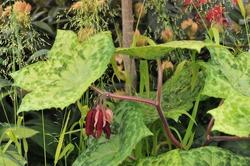 Mayapple (Podophyllum versipelle) Spotty Dotty flowers in a garden in May 2015