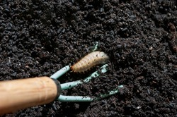 Maybug larva in soil, flower roots damaging insect pest. Spring time garden.
