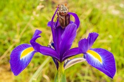 Maybug (Melolontha melolontha) upright on Purple Iris flower, taken in Poole, Dorset, England.