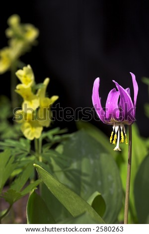 Mayflower. adder's-tongue in the spring forest