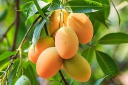 Mayongchid Maprang Marian Plum and Plum Mango thailand