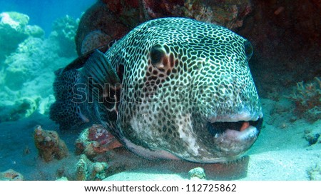 Freshwater Puffer Fish on Pufferfish  Giant Pufferfish Or Giant Freshwater Puffer  Tetraodon Mbu