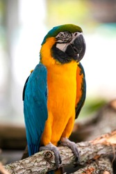 McCaw Parrot Florida Bird Aviary
