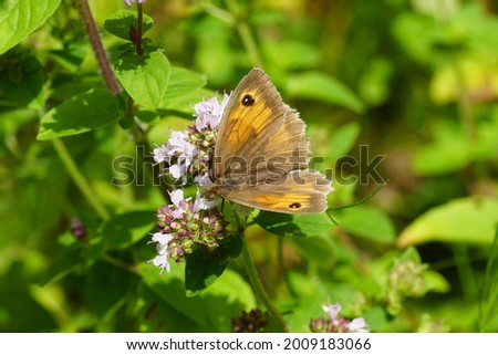 Meadow brown (Maniola jurtina), family Nymphalidae on th flowers of Origanum, family Lamiaceae. Dutch garden, July.                                Stock photo ©
