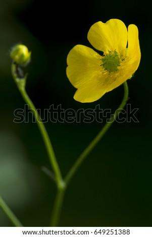 Meadow Buttercup\n