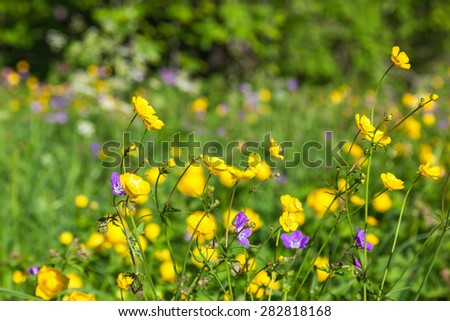 Meadow buttercup in a meadow at summer