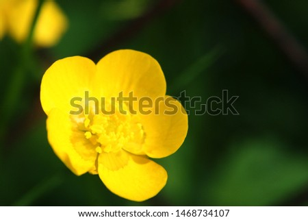 Meadow buttercup or tall buttercup or  common buttercup or giant buttercup (Ranunculus acris) yellow flower close up #1468734107