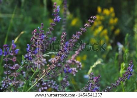 Meadow Clary, Meadow sage, Salvia pratensis. Beautiful purple flowers on wild meadow. #1454541257
