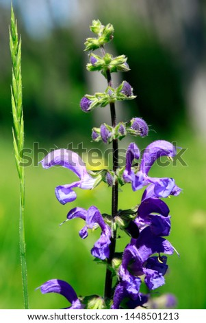 meadow clary or meadow sage (Salvia pratensis), Bad Münstereifel, North Rhine-Westphalia, Germany #1448501213