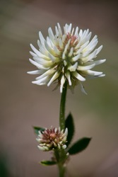 Meadow clover (Trifolium pratense), a dicotyledonous herb of the legume family, is incorrectly referred to as red clover.