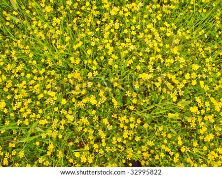 Meadow covered with lots of wild yellow flowers