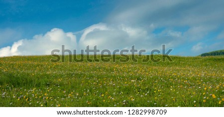 Meadow flowers and herbs bloom in the Carpathians against the backdrop of blue sky in the summer. Medicinal plant Arnica (Arnica montana) blooms in alpine meadow. #1282998709
