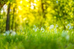 Meadow flowers, beautiful sunny spring summer field, blurred trees background. meadow white flowers on sunset light, green grass forest field, dream nature scenery