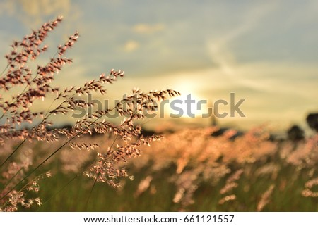 Meadow Grass flower Orange tone Background sunset.