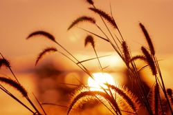 Meadow grass flower with dewdrops in the morning with golden sunrise sky. Selective focus on grass flower on blur bokeh background of yellow and orange sunshine. Grass field with sunrise sky.
