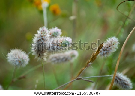 Meadow grass macro. Rabbit foot clover close-up. Fluffy flowers. Beautiful wildflowers on the dark green blurred backdrop. Summer floral background. Trifolium arvense, hare's-foot or oldfield clover