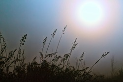 Meadow grasses drooped under the weight of the dew. A foggy summer morning. Sunlight enters, solar disk, the picture in the contour