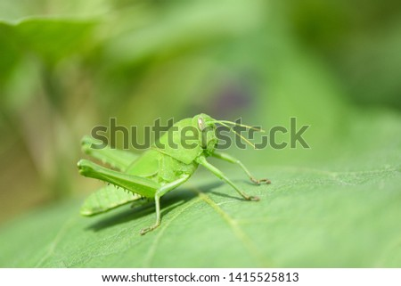 Meadow grasshoppe / Green grasshoppe on leaf in the nature macro shot  #1415525813