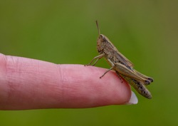 Meadow Grasshopper  ( Chorthippus parallelus) on my nieces finger
