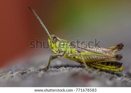 Meadow Grasshopper Close Up #771678583