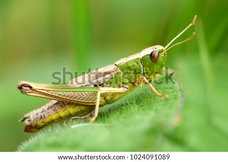 Meadow grasshopper, grasshopper