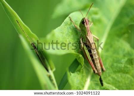 Meadow grasshopper, grasshopper #1024091122